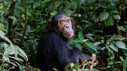 4 Day Gorilla Safari & Chimps