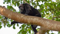 2 Days Chimpanzee Safari