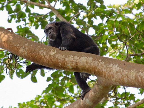 chimps-uganda