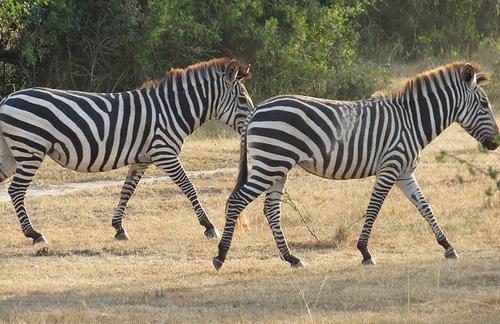 lake-mburo-zebra