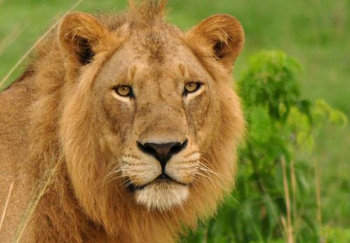 lion-safari uganda