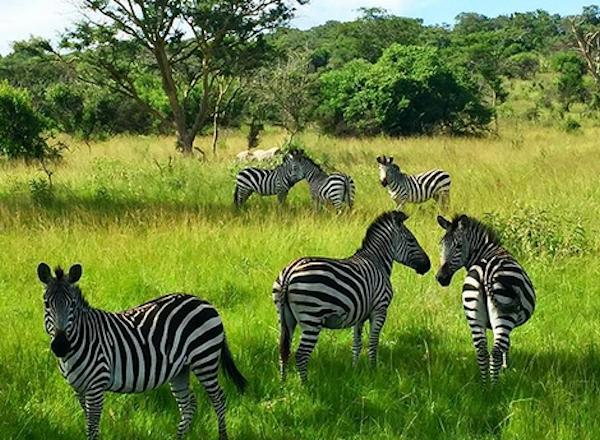 mburo zebras