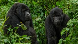 3 Day Mountain Gorilla Trek Uganda
