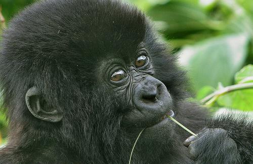 young-gorilla-uganda