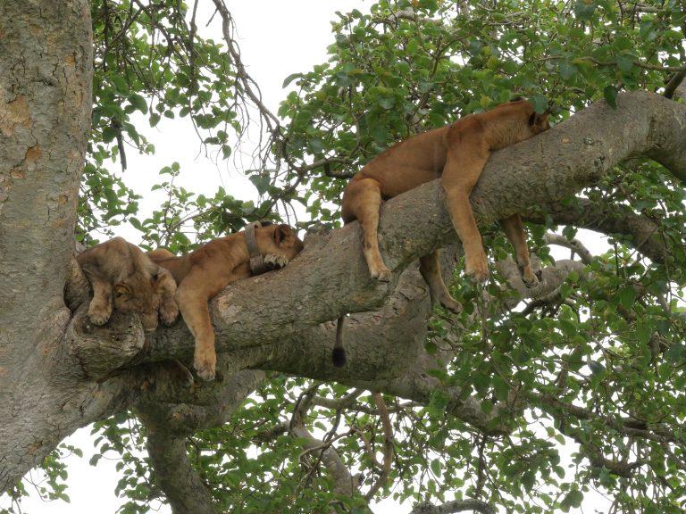 Tree Climbing Lions in Ishasha Sector in Queen Elizabeth National Park