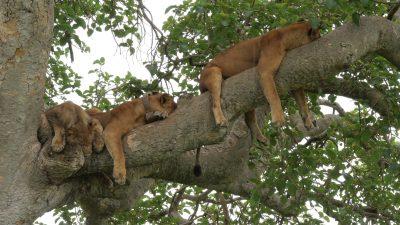 3 Days Tree Climbing Lions Safari.