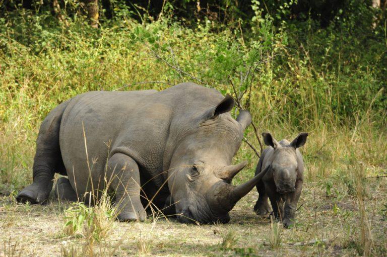 Rhinos at Zziwa Rhino sanctuary