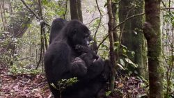 6 days Gorilla Double Tracking.