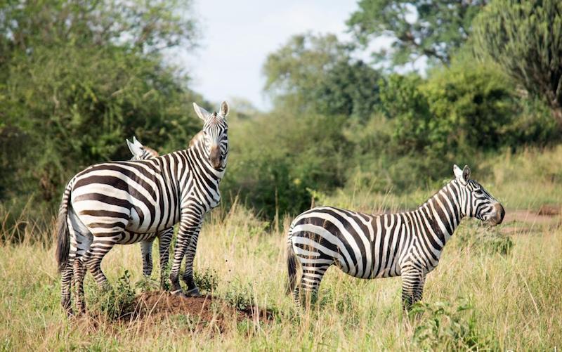 Kidepo wildlife