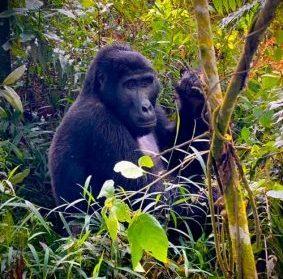 Mgahinga Mountain Gorillas