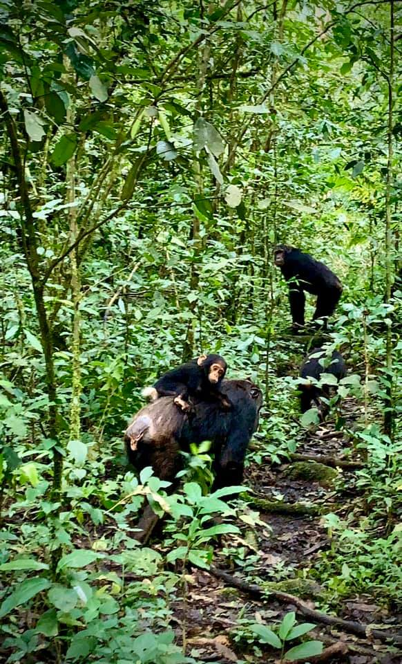 Stunning Nyungwe Chimps carrying a baby. These will best sooth your soul on the Rwanda Primate safari. Don't miss seeing the gorillas in Volcanoes National park.
