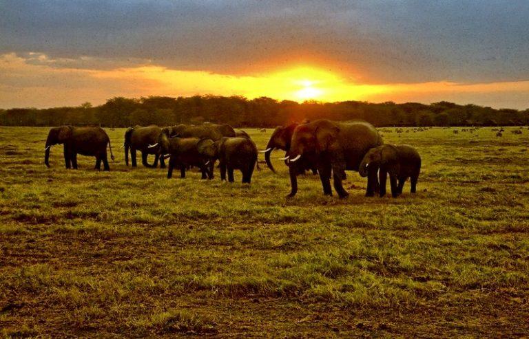 Elephant herd feeding in Amboseli National Park