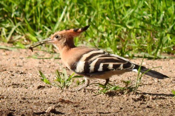Rare birds during Bigodi walk
