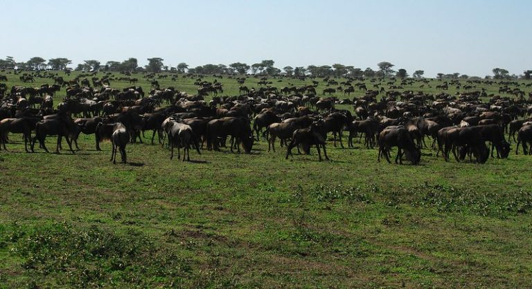 Great wildebeests migration
